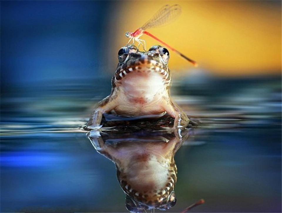 动物奇妙友情:蜻蜓停落青蛙鼻上安然无事