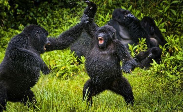 卢旺达猩猩打闹嬉戏互相泼水