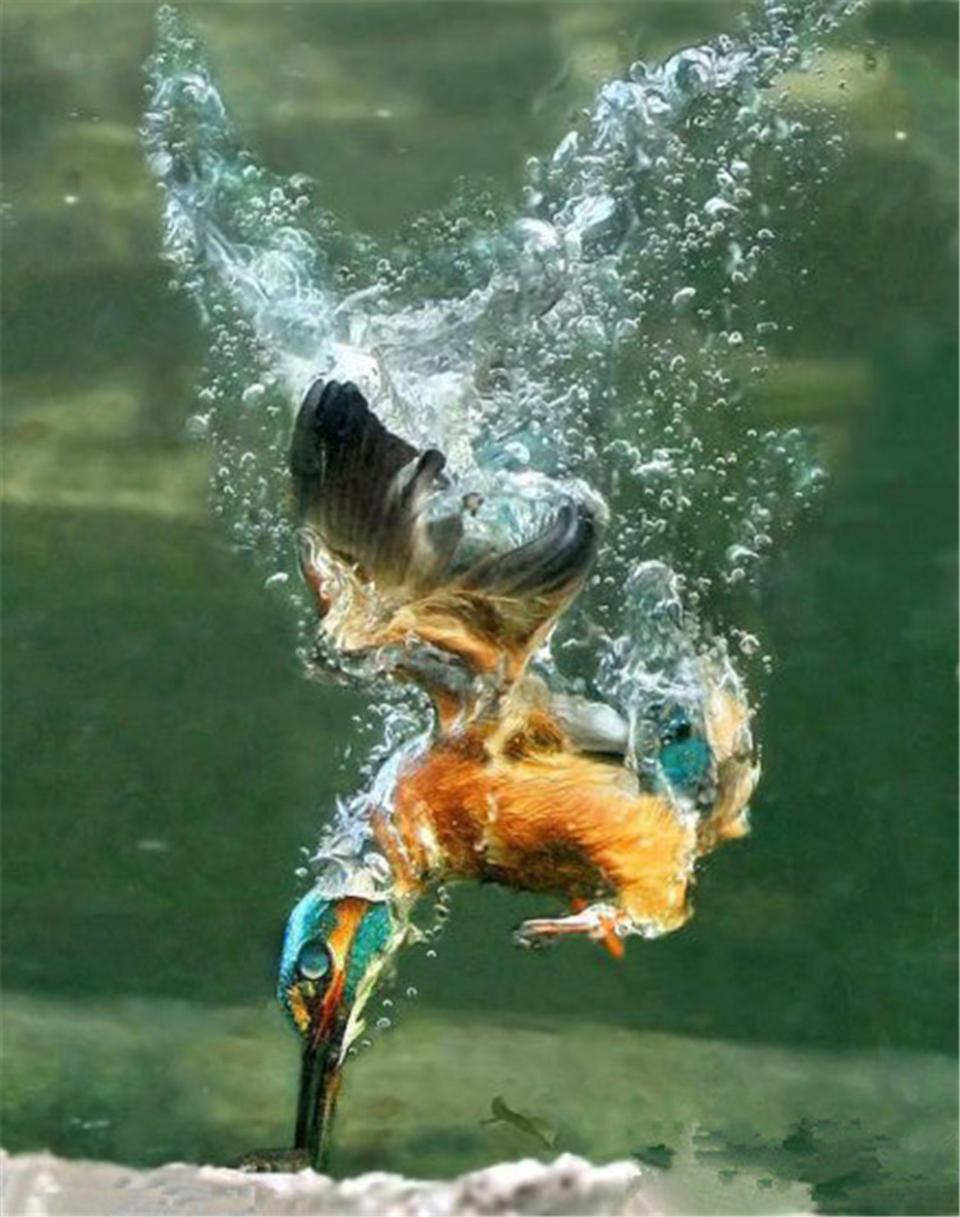 翠鸟入水捕鱼瞬间