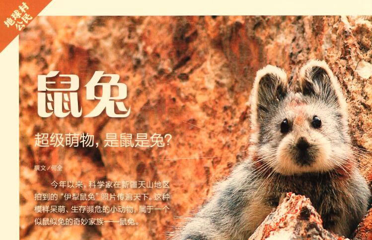 鼠兔 超级萌物,是鼠是兔